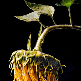 Sunflower Triste by Paul Atcliffe - Nature Up Close Flowers - 2011-2013