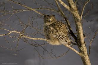 Photo: Blakiston's Fish Owl