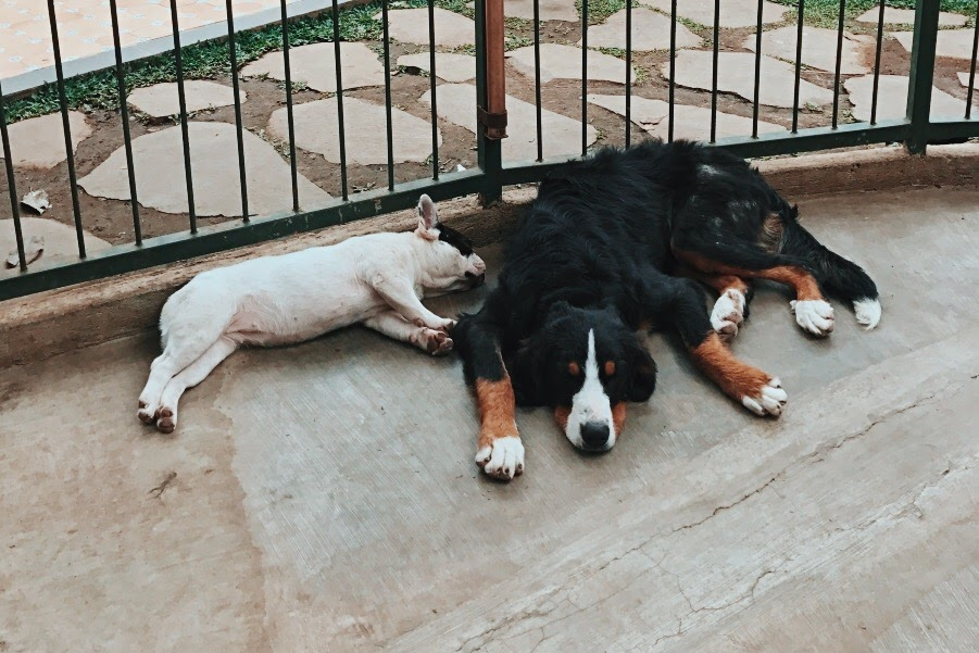 anjing besar rumah guguk bandung