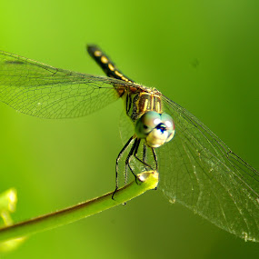 Dragonfly by Peggy LaFlesh - Animals Insects & Spiders ( dragonfly, bugs, green, insect, yellow )