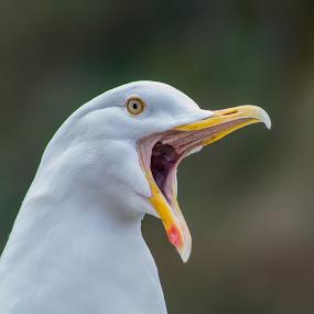Squawking Seagull by Simon Sweetman - Animals Birds ( bird, open, gull, seagull, squawk, beak )
