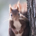 Red Squirrel; Ardillo Roja