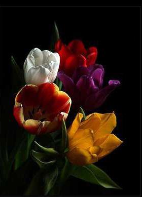 Resultado de imagem para gifs de tulipas