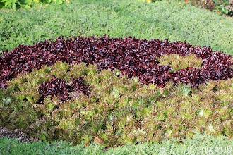 Photo: 拍攝地點: 梅峰-溫帶花卉區 拍攝植物: 萵苣(A菜) 拍攝日期: 2014_11_25_FY