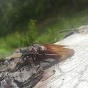 Escarabajo trozador de la madera.
