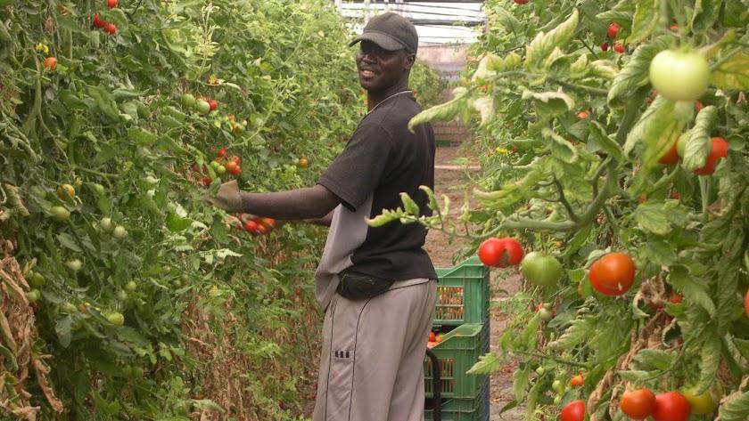 Cultivo  de tomate en un invernadero almeriense.