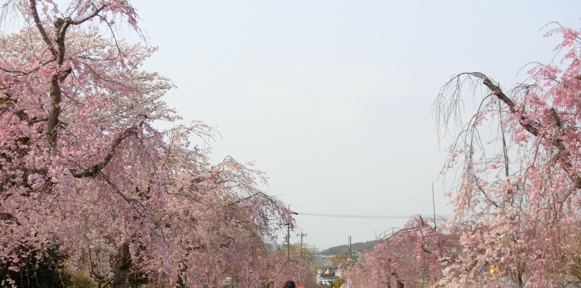 東谷山フルーツパークのシダレザクラ