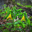 Largeflower Bellwort