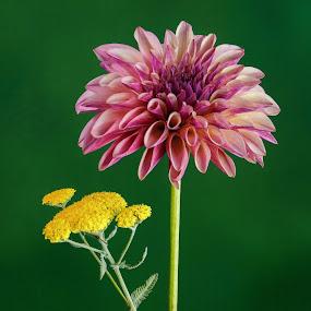 Violet Dahlia & yarrow #7 by Jim Downey - Flowers Flower Arangements ( green, dahlia, yarrow, violet, yellow )