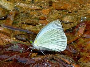 Photo: COMMON  GREENEYED-WHITE--RIO CHALUAYACU, NAPO