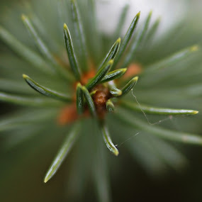 Simplicity  by Kimberly Kern - Nature Up Close Other Natural Objects ( pines, smell, of, winter, green, needles, dof, pine )
