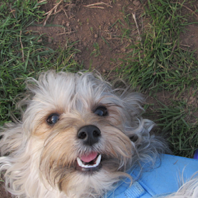 Penny upside down at the park by Karen Dayton - Animals - Dogs Puppies ( canine, park, maltese, silky terrier, adorable, penny, cute, dog, morkie,  )