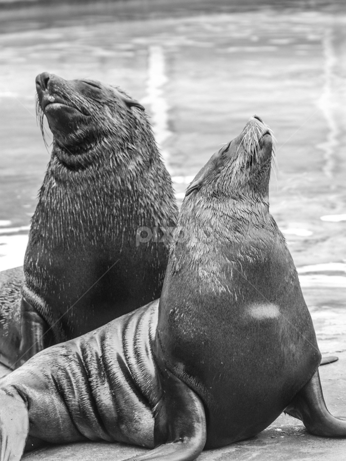 Looking up by Garry Chisholm - Black & White Animals ( sea lion, nature, mammal, seal, aquatic, water, garry chisholm )