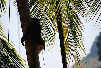 Photo: to harvest the coconuts....Monkeys can pick 800 to humans 200!!!