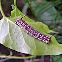 Glassy Tiger larvae