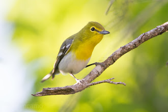 Photo: Yellow-throated Vireo Quintana Spring 2012