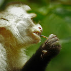 White-faced Capuchin eating a scorpion