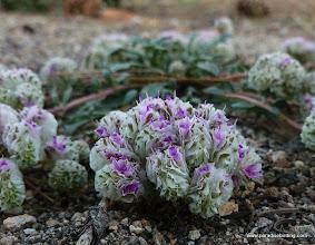 Photo: Lobb's buckwheat, Eriogonum lobbii