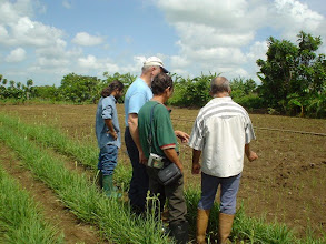 Photo: Telce Gonzalez, Norman Uphoff, Miquel Socorro & Luis Romero examining a new rice field. (Photo by Rena Perez)