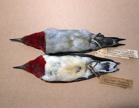 Photo: Melanistic Red-headed Woodpecker, compared to a typical individual