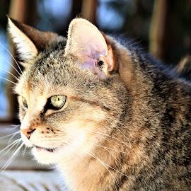 by Linda    L Tatler - Animals - Cats Portraits (  )