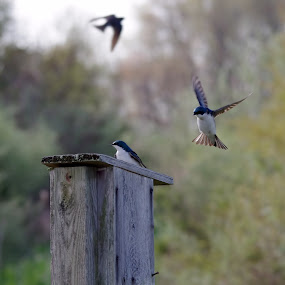 Tree Swallows by Brian Lord - Animals Birds ( spring, outdoors, bird, animals, bombay hook )
