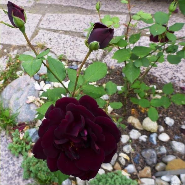 Hoa hồng Nigrette rose có màu đỏ sậm trông như màu đen