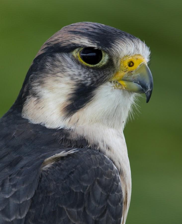 Peregrine Falcon by Jeri Curley - Animals Birds ( raptor; raptors; peregrine falcon; falcon )