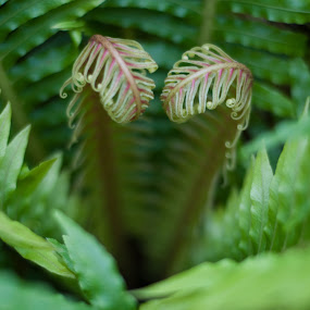 Shy Valentine by Susan Grefe - Nature Up Close Flowers - 2011-2013 ( fern, heart, red, green, shy, valentine )