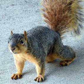 Curious by Deborah Lucia - Animals Other Mammals ( squirrel,  )