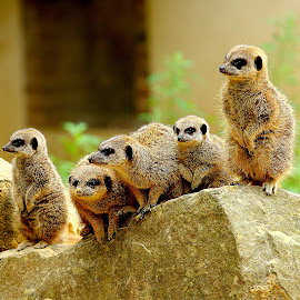 Suricate family by Gérard CHATENET - Animals Other Mammals (  )
