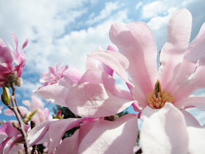 Photo: Pink magnolias open under a bright blue sky at Cox Arboretum in Dayton, Ohio.