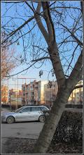 Photo: Frasini - de pe Calea Victoriei, alee Mr.2 - 2017.02.13