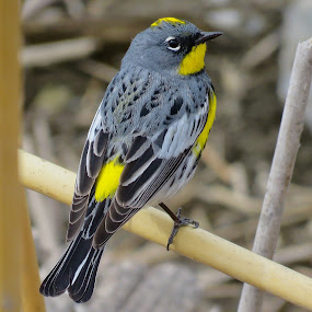 Yellow Rumped Warbler  by Nick Swan - Animals Birds ( nature, yellow rumped warbler, bird, wildlife )