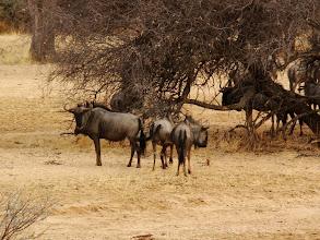 Photo: #003-Gnous (Blue wildebeest) à Epako
