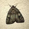 Ilia Underwing Moth