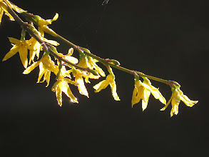 Photo: Priorslee Lake I know Forsythia is a garden escape but quite attractive for all that. (Ed Wilson)