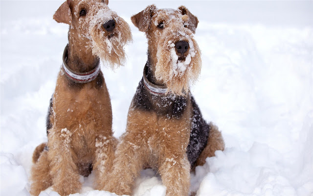 Lakeland Terrier Themes & New Tab