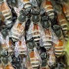 Red Dwarf Honey Bee