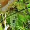 Western poison ivy