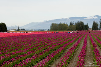 Photo: As if to lay out the royal carpet, these purple and pink tulips point to the majestic mountains in the fading distance. Taken near Mt. Vernon, WA at the RoozenGaarde Tulip Festival. #mountainmonday with +Michael Russell  #leadinglinesmonday with +Pam Chalkley +Jakob Nilsson and +CJ Sros for +Leading Lines Monday  #purplecircle with +lynn langmade +Alexis Coram +Sinead Sam McKeown and +Craig Szymanski for +PurpleCircle