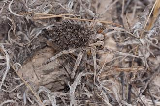 Photo: Fauna: Aranya (Lycosa hispanica)