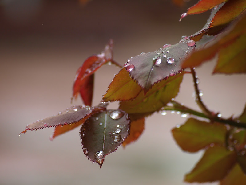 rosa d'autunno di mm