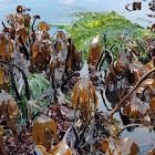 Southern Stiff-stiped Kelp