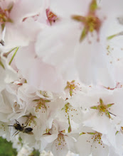 Photo: Bee on pale cherry blossoms at Eastwood Park in Dayton, Ohio.