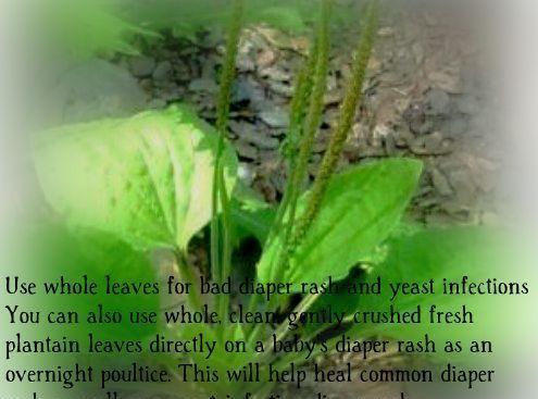 Backyard Herbal #1 Plantain Recipe