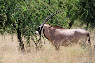 Photo: An Oryx (Afrikaans: Gemsbok) in the Mokala National Park