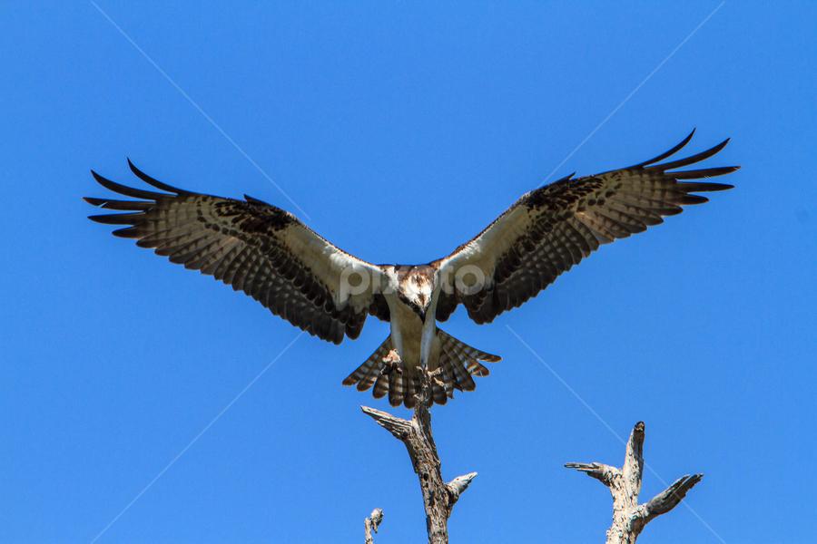 Osprey by Robert Strickland - Animals Birds ( birds, osprey )