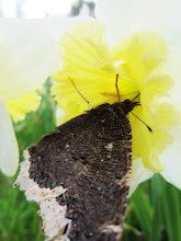 Photo: Butterfly drinking from a white and yellow daffodil at Cox Arboretum in Dayton, Ohio.