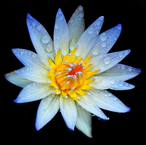 white by Chev Sheva Chenko - Nature Up Close Flowers - 2011-2013